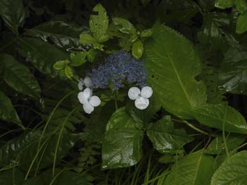 野生の紫陽花.jpg